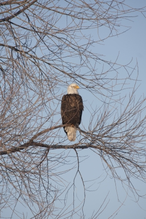 Eagle at Lower Klamath National Wildlife Refuge, California. photo