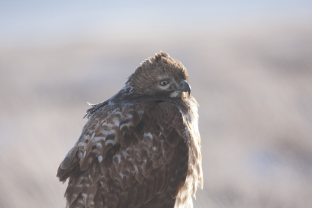 Immature Red Tailed Hawk Perched on Post at Lower Klamath National Wildlife Refuge, California. Stock Photo