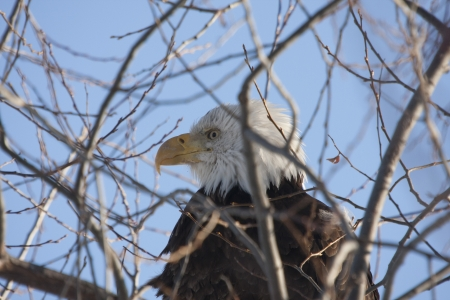 lower klamath: Bald Eagle Perched in Tree.