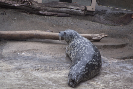 Harbor Seal. Washington.