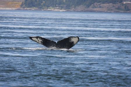 humpback whale: Humpback Whale. Stock Photo