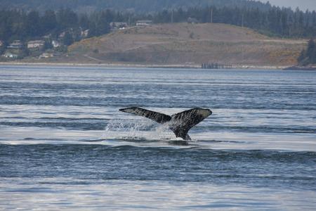 humpback whale: Humpback Whale.