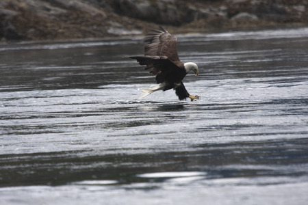 Bald Eagle Hunting Fish   Photo taken near Stuart Island, BC Canada