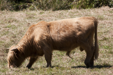 Highland Cow (also known as Hairy Cow).  Photo taken along Oregon coast.