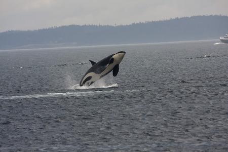 Orca Breech, Anacortes, Washington.