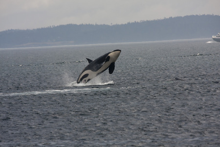 Orca de nalgas, Anacortes, Washington.