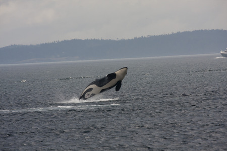 Orca Breech, Anacortes, Washington.