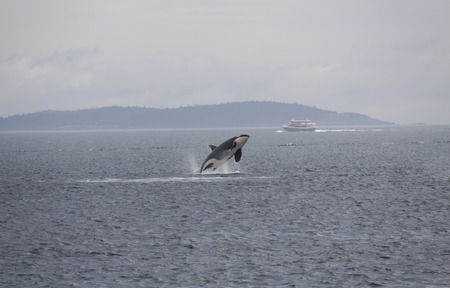 Orca (Killer Whale), Anacortes, Washington. Stock Photo