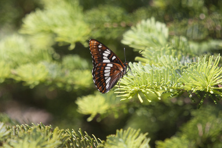 Lorquin's Admiral Butterfly.  Photo taken at Mount Saint Helens National Volcanic Monument, Washington. Stock Photo