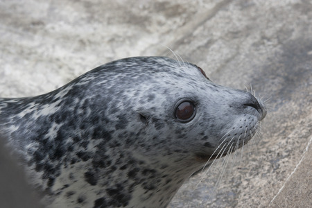 Harbor Seal.  Photo taken at Point Defiance Zoo, Washington. Stock Photo