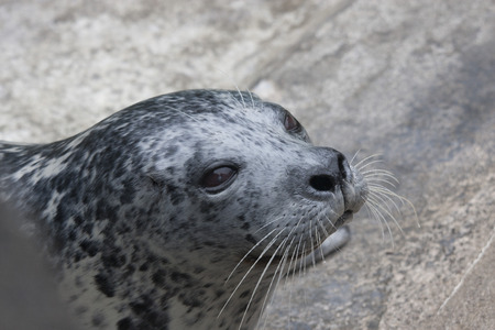 defiance: Harbor Seal.  Photo taken at Point Defiance Zoo, Washington. Stock Photo