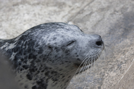 defiance: Harbor Seal.  Photo taken at Point Defiance Zoo, Washington. Stock Photo