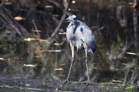 Great Blue Heron.  Photo taken at Ridgefield National Wildlife Refuge, Washington.