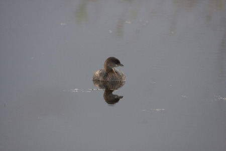 Pied-billed Grege.   Photo taken at Ridgefield National Wildlife Regfuge, Washington. Stock Photo