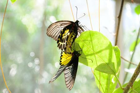 breeding: Butterfly Breeding