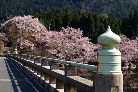 hostas: Hostas and cherry blossoms