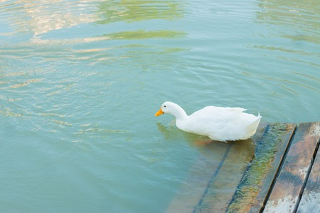 White duck photo