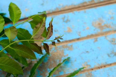 neem: Nature fresh neem on old blue wooden