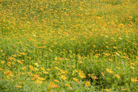 Field of cosmos flowers Stock Photo