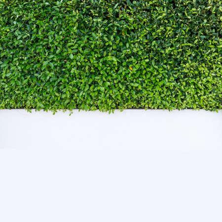 Green tree landscape orderly trim on the white concrete wall. Фото со стока