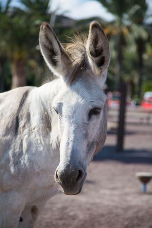 pack animal: Donkey on Fuerteventura