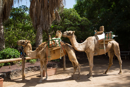 saddle camel: Camel with palm trees in the background