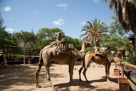animales del desierto: Camello con palmeras en el fondo Foto de archivo