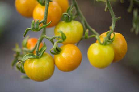 grown up: tomatoe grown up