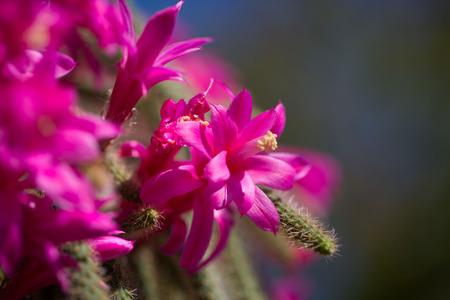 spiked hair: cactaceae pink, macro