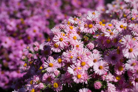 aster, purple, in the garden