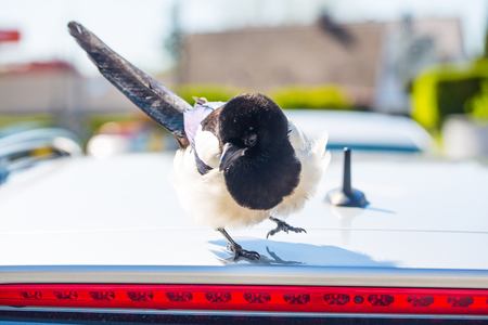 Elster sits on the roof, angry magpie