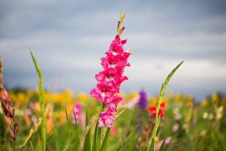 Gladioli on the field for picking,