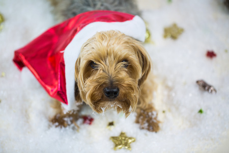 yorkshire terrier with santa claus hat, lying in the snow
