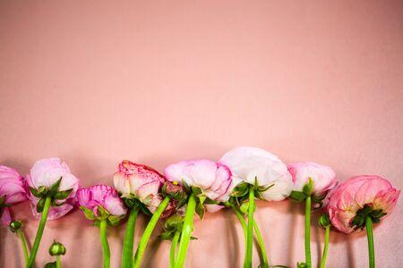 Ranunculus on pink background 版權商用圖片 - 133955531