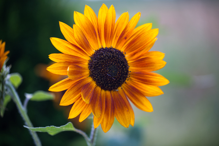 Sunflower single, backlit,