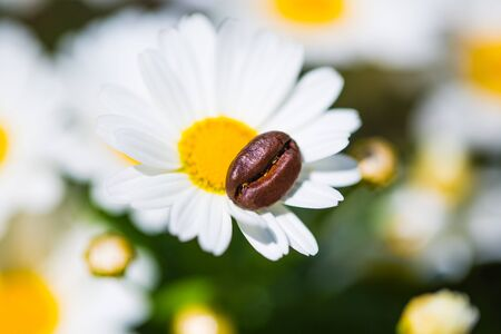 Coffee bean on a daisies, summer, feeling 版權商用圖片 - 131099832