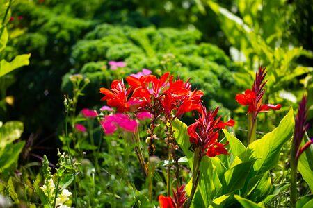 Canna indica in botanical garden