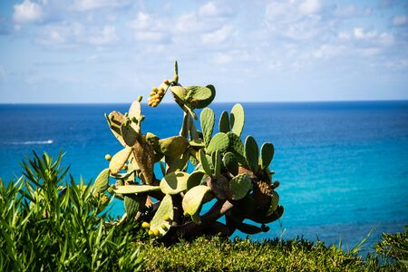 Prickly pears on the sea, Calabria, prickly pears on the tree