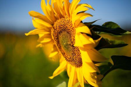Sunflower on field, blue sky