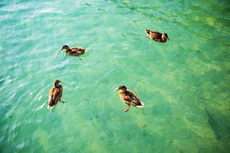 ducks on the water, four ducks