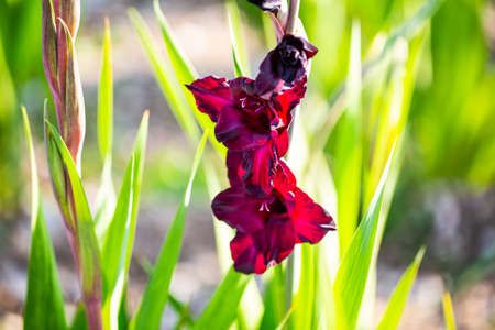 purple gladiolus in the field, gladiolus in the field 版權商用圖片
