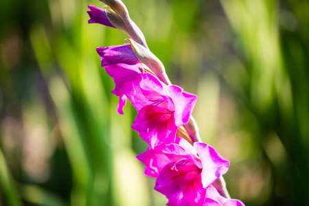 gladiola on field, nature, gardening