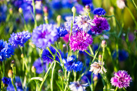 Cornflowers, Asteraceae in the meadow