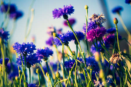 Cornflowers, Asteraceae in the meadow, blue sky