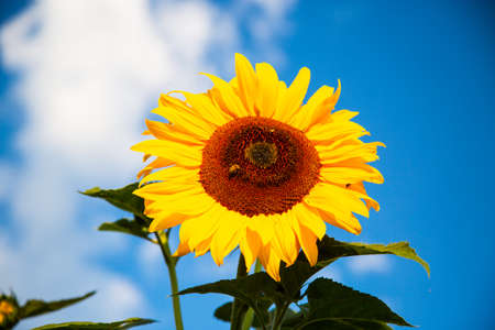 sunflower with blue sky, summertime