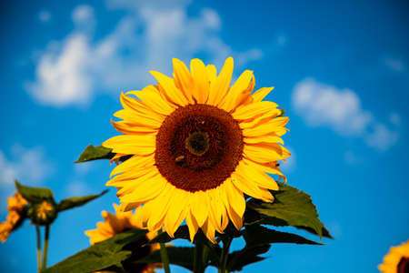 sunflower with blue sky, summertime, bee
