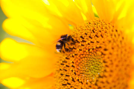 Bee on sunflower, sunflower field
