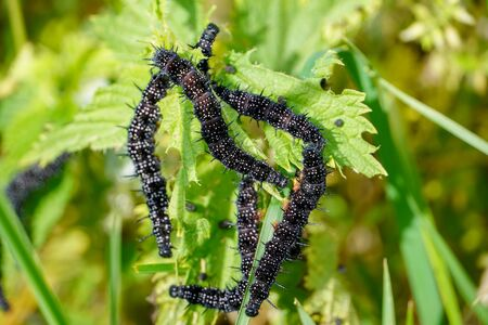 Black caterpillars with white dots, devour the leaves in early spring. 版權商用圖片