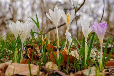 Spring saffron flowers in the forest Standard-Bild