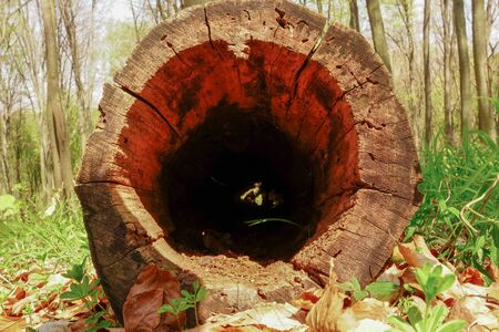 tree stump with a hollow standing in the spring forest